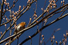 Gesangsstunde (explored) (Renata1109) Tags: rotkehlchen robin vogel bird himmel blau baum himmelblau sky tree deutschland singvogel gezwitscher frühling knospen bayern sonne