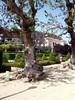 BELLAOMBRA - PHYTOLACCA DIOICA - ÁRBOL DE LA BELLA SOMBRA (MIRAMAR) (Yeagov_Cat) Tags: 2018 barcelona catalunya 1913 arbre bellaombra miramar montjuïc phytolaccadioica árboldelabellasombra 00300393