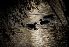 DSCF8446-1 (joboss83) Tags: animaux canard eau lac fujixt1 bird