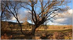 Quercus faginea. Quejigo, roble carrasqueño (Miguel. (respenda)) Tags: árbol hierba campo roble cielo