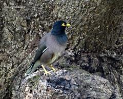 DSC07275 Common Myna (Acridotheres tristis) (vlupadya) Tags: greatnature animal aves fauna indianbirds common myna acridotheres kundapura karnataka