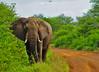 WARNING_EARS_OF_DANGER_MALE_ELEPHANT_KRUGER_SOUTH_AFRICA (paulomarquesfotografia) Tags: paulo marques sony a230 sal75300mm jungle florest selva floresta elefante ceu sky animals vida selvagem wild life wildlife elephant