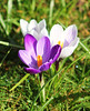 Crocus bloom (ekaterina alexander) Tags: crocus bloom spring croci flower flowers purple petals white ekaterina alexander nature photography pictures england sussex