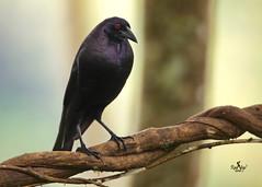 Vaquero Grande - Giant Cowbird - (Molothrus oryzivorus) (raulvega) Tags: avesdecostarica raúlvega vaquerogrande giantcowbird molothrusoryzivorus