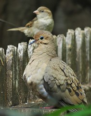 Mouring Dove and House Sparrow (ironicdream) Tags: mourningdove sparrow nature outside florida explore expored dove fence wildlife backyard