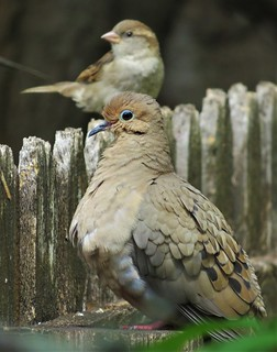 Mouring Dove and House Sparrow
