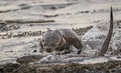 Otters Fighting (Stuart_Allen) Tags:
