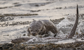 Otters Fighting