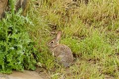 Bush Bunny (kevinfoxphotography53) Tags: vasco caves regional preserve bush bunny kevinfoxphotography ebparksok ebparks native american