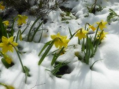 Daffodils in the Snow. (jenichesney57) Tags: snow flowers daffodils ground spring