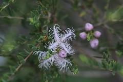 Melaleuca thymifolia (Legobird3) Tags: australianplants melaleuca