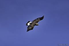 Aigle royal_4496 (lucbarre) Tags: rapace rapaces oiseaux oiseau ciel aigle aibles royal royaux sky vautour landes losse estampon