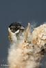 Rietgors (m)- Common Reed Bunting - Emberiza schoeniclus (Edwin010) Tags: rietgors berkelenrodenrijs maart 2018 groenzoom vogel vogels reed riet natuur buiten edwin010 dutchbirding natuurmonumenten ng staatsbosbeheer nederland netherlands commonreedbunting emberizaschoeniclus