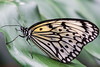 Monarch (jeff's pixels) Tags: butterfly monarch insect wing leaf macro nikon d850 105mm nature beauty
