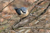 waiting in line (KevPBur) Tags: canon70200mmf28lisiiusm canon80d canonextenderef2xiii dintonpastures foll nuthatch sittaeuropaea bird brown grey perched wildlife winter