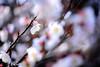 梅 #3ーPlum #3 (kurumaebi) Tags: yamaguchi 秋穂 nikon d750 nature 自然 landscape 梅 plum ウメ macro マクロ
