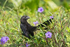 Smooth-billed ani (Crotophaga ani) (tomaszberlin) Tags: georgetown caymanislands ky smoothbilled ani nature birdwatching wildife