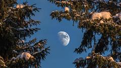 Månen och tall (tonyguest) Tags: månen moon tall snow tonyguest dalarna fänforsen björbo sweden stockholm blue sky craters snö snön pine tree trees