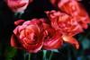 DSC_8995 (PeaTJay) Tags: nikond750 sigma reading lowerearley berkshire macro micro closeups gardens indoors nature flora fauna plants flowers bouquet rose roses rosebuds