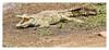 2018 02 01_Crocodile-1 (Jonnersace) Tags: crocodile crocodylusniloticus nilecrocodile reptile teeth dinosaur predator sunsetdam lowersabie krugernationalpark southafrica krokodil wildwingssafaris wild nature canon canon7dii canon100400ii basking mouth scales armour