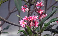 Pink Plumeria (Kath Golap) (ChandrahaasCreation) Tags: cannon color close camera cool colorful contrast colors city cycle dslr day daylight digital different dark dhaka design decorate dhakacity dusk light lighting lights look lens love landscape life leaf lovely less little one petals pink plant natural nature flower fresh flowers friendship festival f