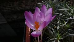 Crocus botaniques (jeanlouisallix) Tags: rouen seine maritime haute normandie france fleurs crocus flowers plantes printemps fenêtre jardinage garden jardin