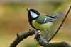 DSC_5396 Kohlmeise (Charli 49) Tags: charli nature naturfotografie tier animal vogel bird kohlmeise garten