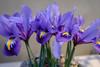 Spring equinox in Gothenburg (annarkias) Tags: macro gothenburg botanicalgarden spring flower