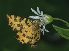 Pseudopanthera macularia - Speckled yellow - Пяденица пятнистая