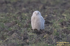 "Snowy Owl (5807) (Rare for NW WA) (Anthony ""Tony G"" Gliozzo (Web Site is ocbirds.com)) Tags: anthonygliozzo camanoislandwashington canon100400isiilusm canon7dmarkii firisland mountvernon skagitcounty snowyowl washington unitedstates us"