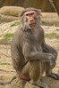 Hamadryas Baboon (The_Speedy_Butterfly) Tags: sandiego california unitedstates us monkey baboon