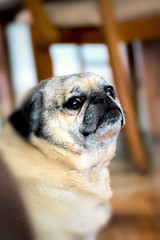 But Mom.. (Vanessa wuz Here) Tags: 90mm 7dwf pug dog fauna flickrdog