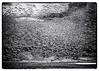 Snowing Geese (Gary Grossman) Tags: geese flock birds nature force awe marvel landscape marsh wetland oregon garygrossmanphotography snowgeese waterfowl winter wildlife wild sauvieisland pacificnorthwest trees oaks bnw blackandwhite