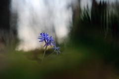 L'étoile bleue (Armelle Moindrot) Tags: helios44m armellemoindrot objectifm42 bokeh fleur plante proxiphoto scilleàdeuxfeuilles scillabifolia