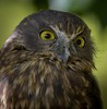 Morepork, NZ (njohn209) Tags: birds d500 nikon nz