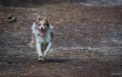 Forest run (row.box) Tags: 300mm bcosa bordercollie dog dogs k3 pentax brownandwhite da300mm da300mmf4 ears eye fur furfamily furry look merle model nose pentaxian redmerle running tongueout kuitpo southaustralia australia au