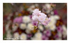 SHF_5459_Cherry blossom (Tuan Râu) Tags: 1dmarkiii 14mm 100mm 135mm 1d 1dx 2470mm 2018 50mm 70200mm canon canon1d canoneos1dmarkiii canoneos1dx cherryblossoms hoaanhđào flowers hoa nhậtbản hanoi dof bokeh tuanrau tuan tuấnrâu2018 râu httpswwwfacebookcomrautuan71