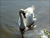 Swan. (Country Girl 76) Tags: swan bird wild canal leeds liverpool skipton yorkshire reflections