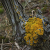 6 Weinstock mit Flechte (LoggeJo) Tags: weinstock flechte vine vineyard gelb yellow