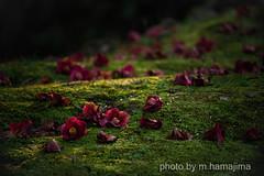 落ちてなお美し_K1_14734 (m.hamajima) Tags: pentax k1 椿 tsubaki 苔 camellia moss flower