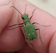 Cicindela campestris (lloyd177) Tags: beetle dorset arne rspb