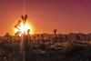 _DSC7699 (andrewlorenzlong) Tags: joshua tree national park joshuatree joshuatreepark joshuatreenationalpark california desert
