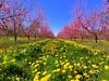 iph8012 (gzammarchi) Tags: italia paesaggio natura pianura campagna ravenna sanmarco pescheto fiore pesco tarassaco colore rosa giallo albero frutteto