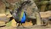 Der Pfau und das Erdmännchen (hansjrgenknppel) Tags: der pfau und das erdmännchen duisburg zoo germany nikon d 7100 hans juergen knueppel peacock
