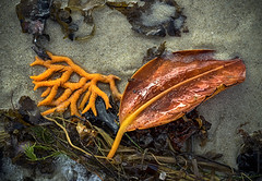 orange flotsam (gnarlydog) Tags: australia lowtide beach detail leaf coral orange manualfocus vintagelens refittedlens fzuiko32mmf17 colorful