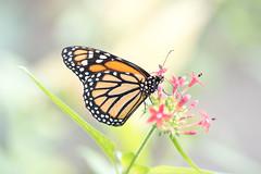 Danaus plexippus (fabriciodo2) Tags: danausplexippus monarque papillon macro nature butterfly