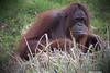 l'Homme est le plus cruel de tous les animaux (B N C T O N Y) Tags: lhomme est le plus cruel de tous les animaux auran outang singe exctinction voie nutela nutella zoo beauval