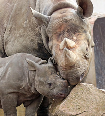 black rhino Mara and Naima Blijdorp BB2A8045 (j.a.kok) Tags: neushoorn rhino rhinoceros animal africa afrika zwarteneushoorn blackrhinoceros blackrhino puntlipneushoorn mara naima mammal zoogdier dier herbivore blijdorp