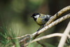 a great tit on a branch (Franck Zumella) Tags: tit mesange oiseau bird great charbonniere nature wildlife vie sauvage boit wood forest foret branch branche light luiere color couleur yellow jaune green vert lumiere tree arbre