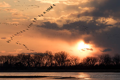 Sandhill_Cranes-25 (Beverly Houwing) Tags: nebraska sandhillcranes plattriver migration spring birds conservation cranetrust sanctuary protected flying sihouette clouds sky sunset orange glow unitedstates midwest